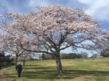 千葉昭和の森 桜