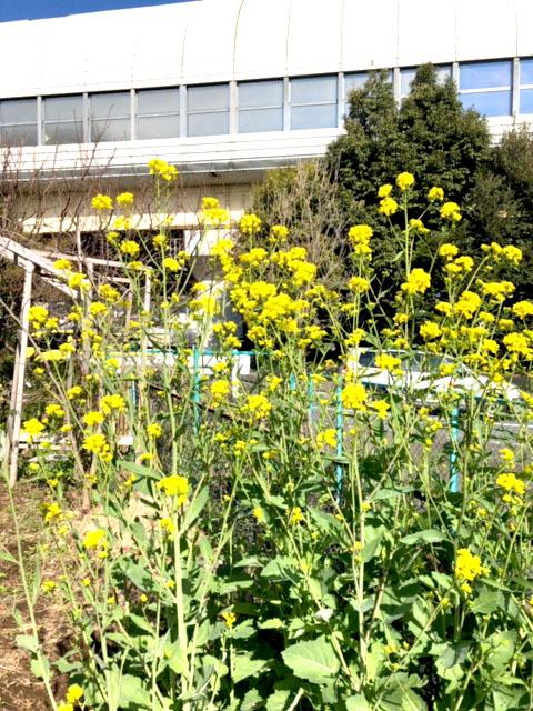背高菜の花