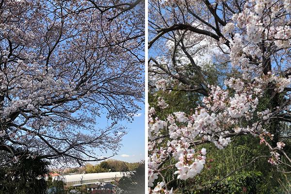 4月恒例のお花見