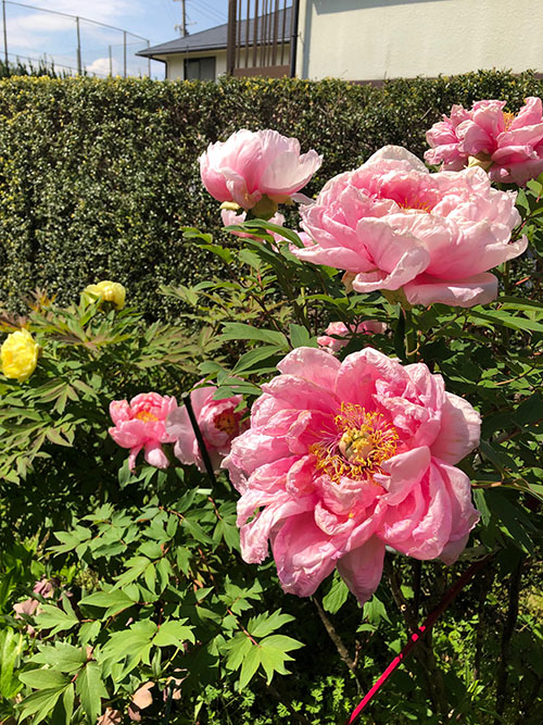 牡丹の花 ピンク