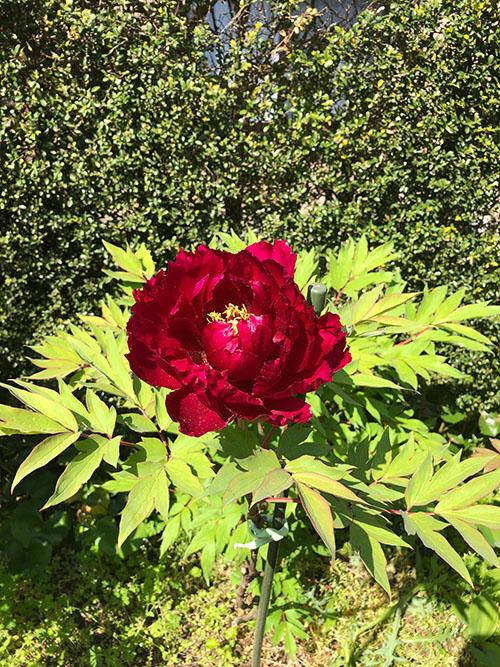 牡丹の花 赤