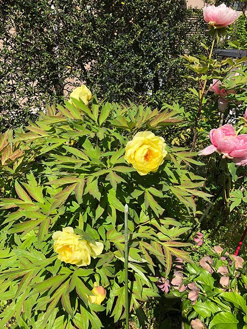 牡丹の花 黄色