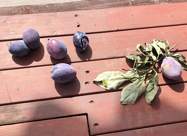 レナテック果樹園のプルーン